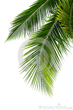 Free Leaves Of Coconut Tree Isolated On White Background Royalty Free Stock Photos - 39737238