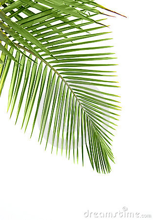 Free Leaves Of Palm Tree Royalty Free Stock Image - 10722896