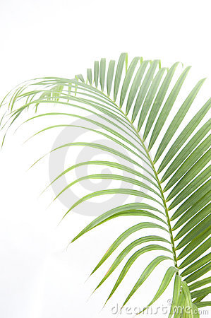 Free Leaves Of Palm Tree Stock Photography - 14405932