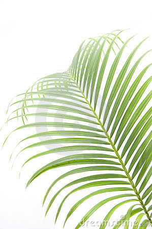 Free Leaves Of Palm Tree Stock Photography - 14418172