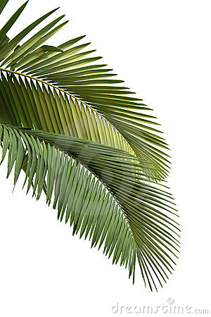 Free Leaves Of Palm Tree Royalty Free Stock Photo - 14480205