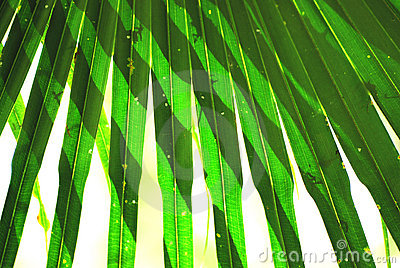 Leaves of palm and sun light