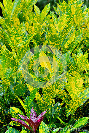 Leaves pattern by zingiberaceae plant