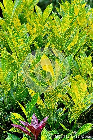 Leaves pattern by zingiberaceae plant