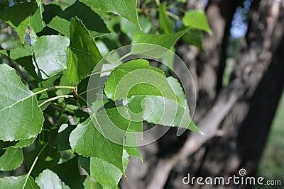 Leaves of a poplar