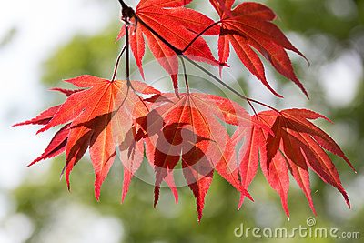 Leaves of red maple in the forest