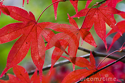 Leaves Red Maple hor