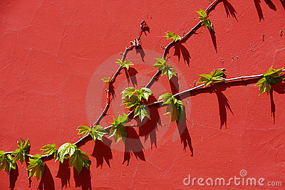Leaves on the red wall