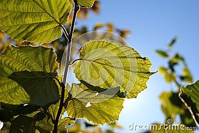 Leaves Soaking Up Light
