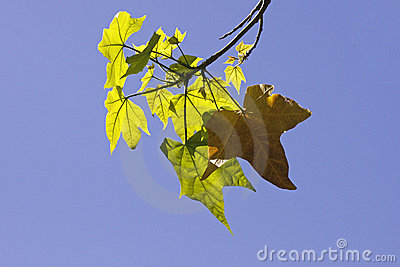 Leaves of the Sugar Maple in spring