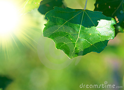Leaves of tree and bright sunshine