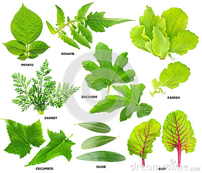 Leaves of  vegetable plants