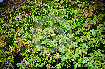 Leaves of virginia creeper
