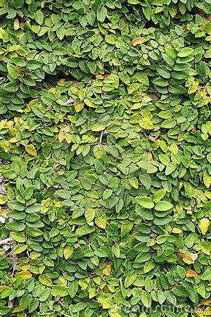 Free Leaves Wall Texture Royalty Free Stock Images - 16034039