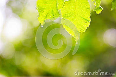 Leaves with of water and burred