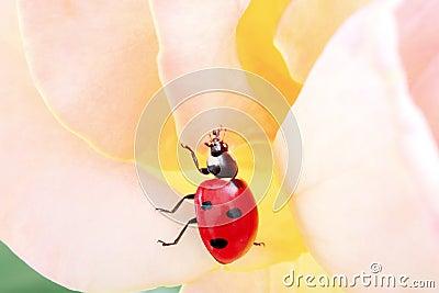 Lebendiger Marienkäfer in der Bewegung in einer Rose