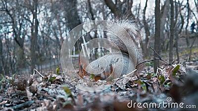 Leef schietend Eekhoorn die noten in het bos Handbediende schieten in de wildernis eten stock footage