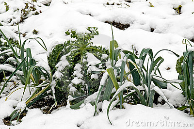 Leeks and kale in the snow