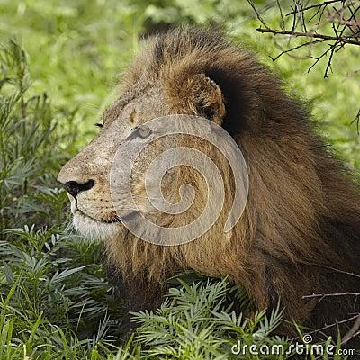 Leeuw die in schaduw van boom liggen