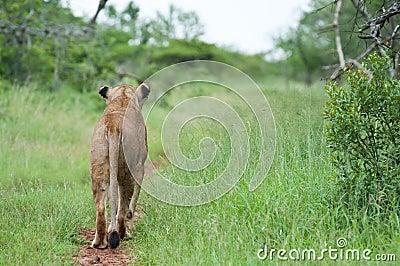 Leeuw op de jacht