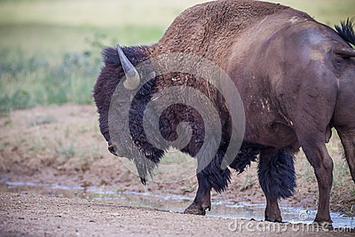 Left profile of American bison or buffalo