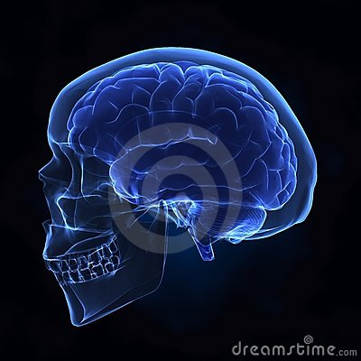 Free Left View Of Human Skull And Brain Stock Photos - 12192533