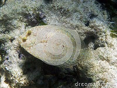 Lefteye flounder