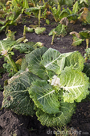 Leftover of savoy in a vegetable garden