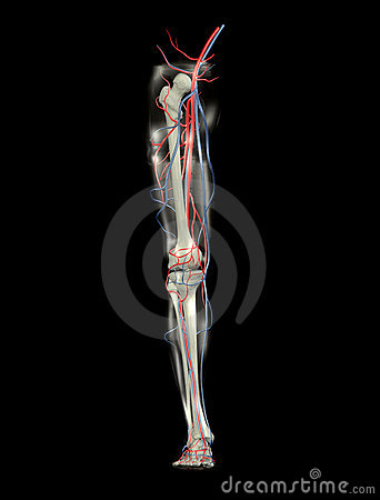 Leg Bones, Arteries, Veins