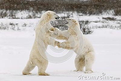 Lekstridighet för två isbjörnar.