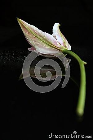 Leluja biel