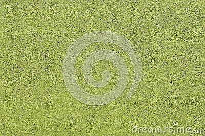Lemna minor texture