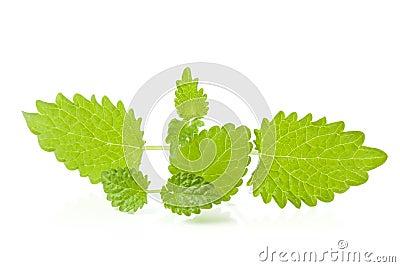 Lemon balm sprigs on white background