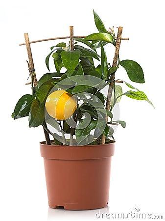Lemon citrus plant