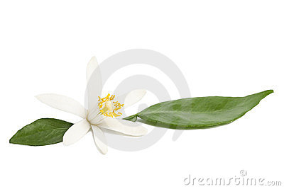 Lemon flower with leaves on white