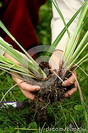 Lemon grass - Perennial plants transplanting