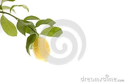 Lemon growing on branch