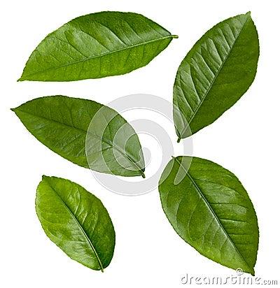 Lemon Leaves isolated