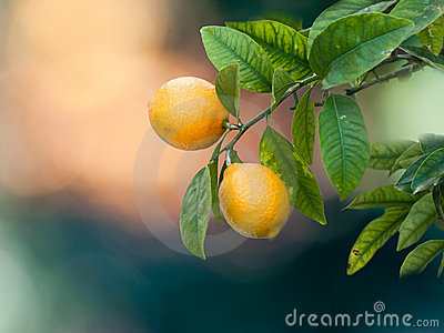 Lemon s tree