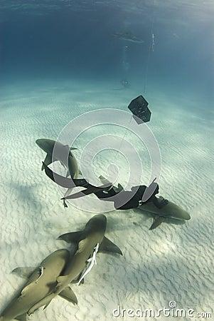 Lemon Shark Petting