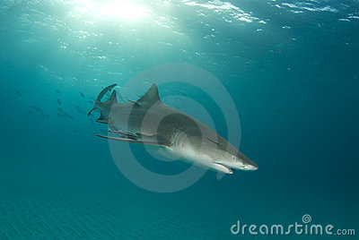 Lemon Shark Swimming