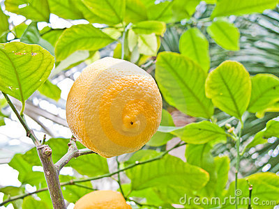 Lemon in a tree
