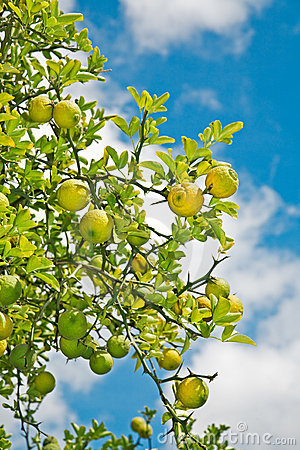 Free Lemon Tree Royalty Free Stock Images - 3078649