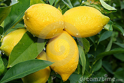 Lemon tree branch