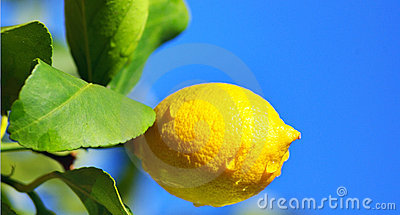 Lemon tree branch and leaves.