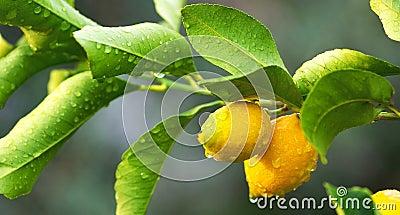 Lemon tree branch and leaves