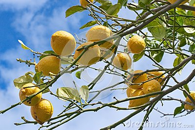 Lemon tree branch in Sorrento