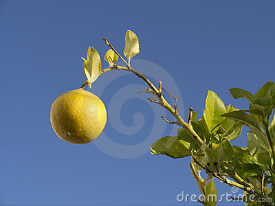 Lemon Tree - Spain