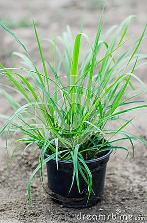 Lemongrass seedlings