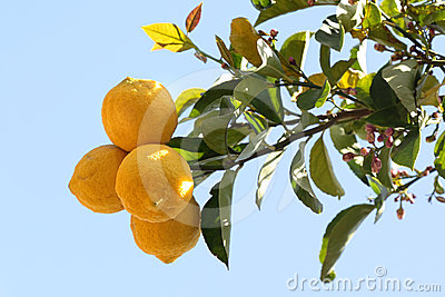 Lemons on lemon tree
